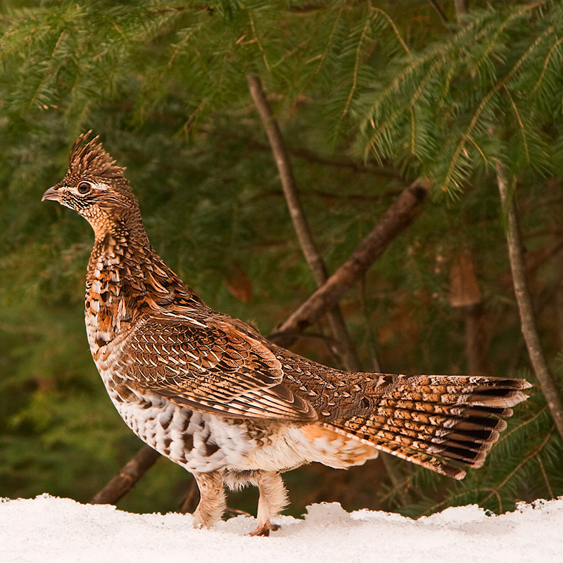 ruffed-grouse-pa-state-bird-gallery